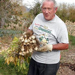 Wayne Lowery harvests Jerusalem artichokes, which grow from tubers. They can be stored in a moist root cellar for an extended time.