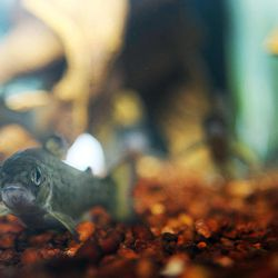 In this photo taken Monday, April 2, 2012, at the National fish Hatchery in Nashua, N.H., young Atlantic Salmon are seen. After three decades of disappointing numbers, the New Hampshire Fish and Game Department is moving away from its tradition of releasing millions of  the baby fish into the Merrimack River watershed in hopes of restoring the state's Atlantic salmon population.