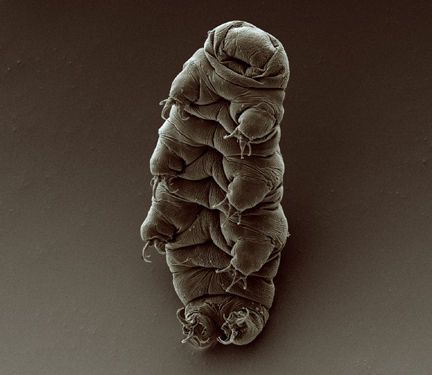 Scanning electron micrograph of an adult water bear (tardigrade), Hypsibius dujardini. by Bob Goldstein & Vicky Madden, UNC Chapel Hill / Wikimedia