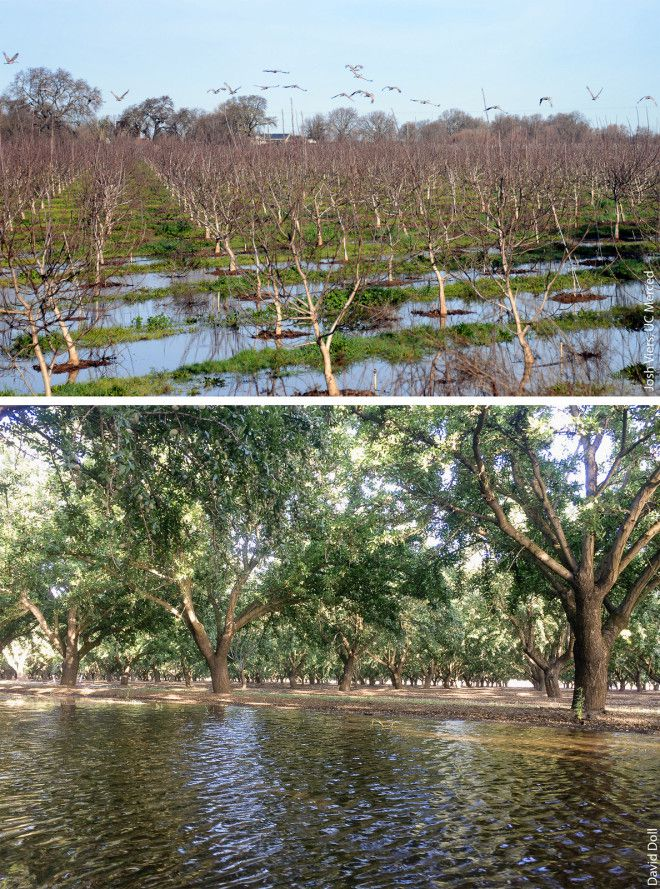Orchards of walnuts (above) and almonds (below).