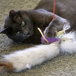 Bleau le Beare, who was rescued by Bonney and Doug Thom, plays at their home in Draper on Monday, July 13, 2020. Salt Lake and Washington counties are not accepting stray cats unless they're hurt or obviously abandoned.