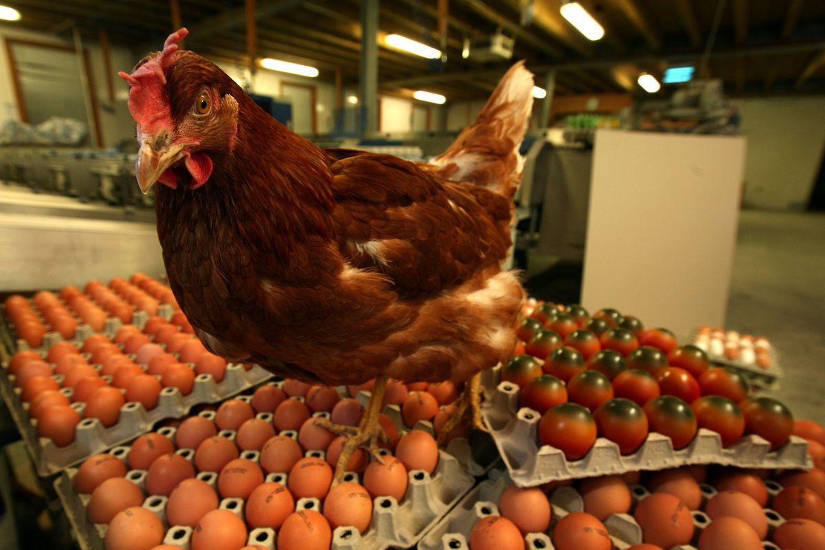 EU Regulations Leave Organic Farmer Holding 70,000 Eggs