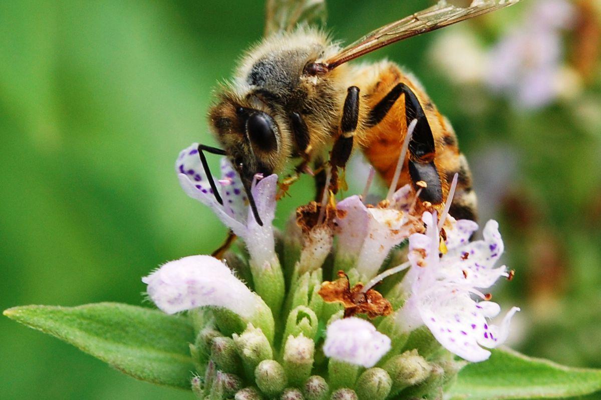 A honey bee (Apis mellifera) visiting a mountain mint (Pycnanthemum muticum) blossom.
