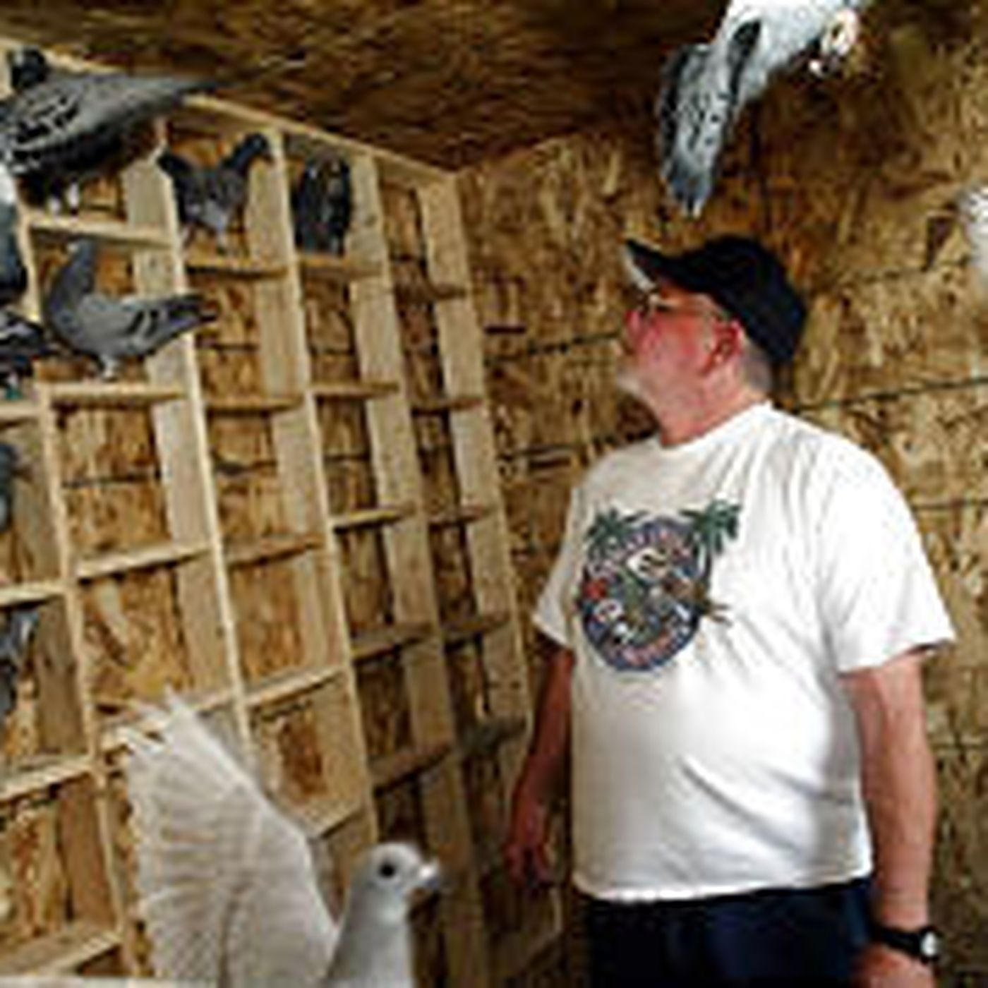 Utah Pigeon Racer In Nasty Flap Deseret News
