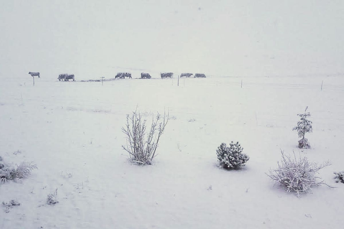 march 21 snowfall with cattle in the background