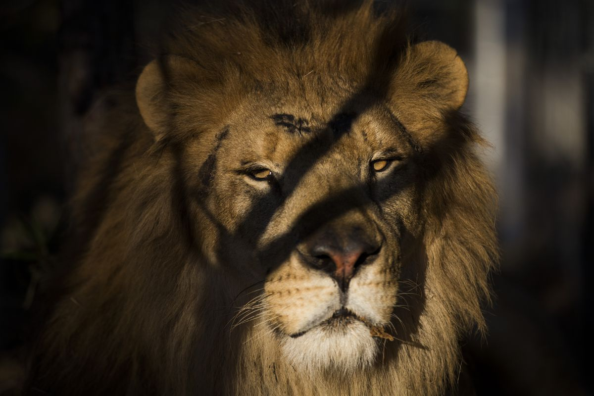 Thirty Three Former Circus Lions Are Airlifted Back To South African Sanctuary