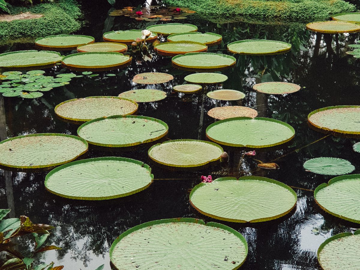 Lily pads in the gardens at Singapore Botanic Gardens.