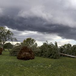 Pine trees toppled by high winds lay in a row in Sunnyside Park in Salt Lake City on Tuesday, Sept. 8, 2020.