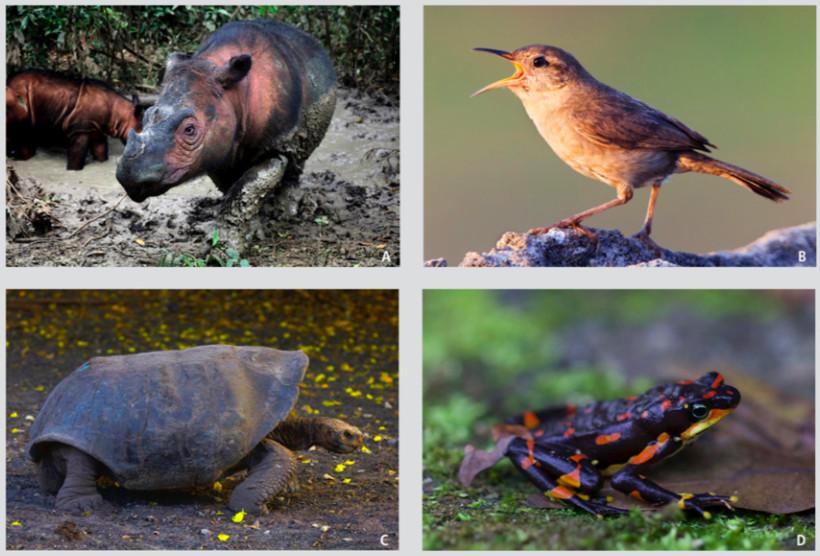 Photos of the Sumatran rhino, the Clarion island wren, the Española Giant Tortoise, and the Harlequin frog.