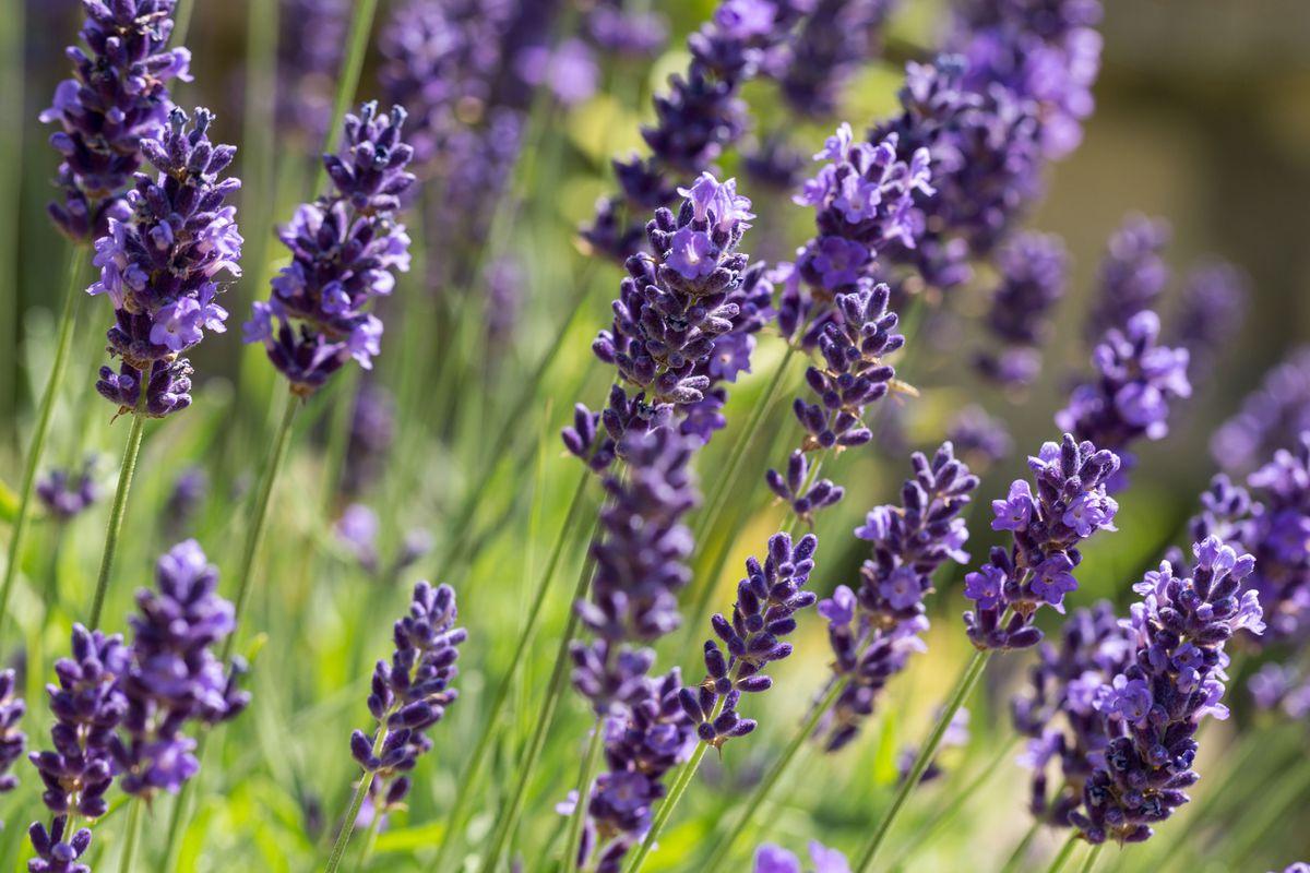 Close up of bright purple lavender buds.
