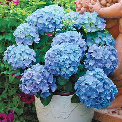 Big Blue 'Endless Summer' Hybrid Mophead