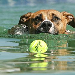 Lambert retrieves a ball in the pool during contest at the Soldier Hollow Classic on Friday in Midway.