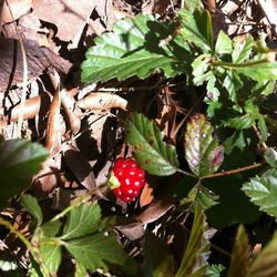 Dewberries:  Very similar to a blackberry, while this one is a bit under ripe, the ones that are ready are black.