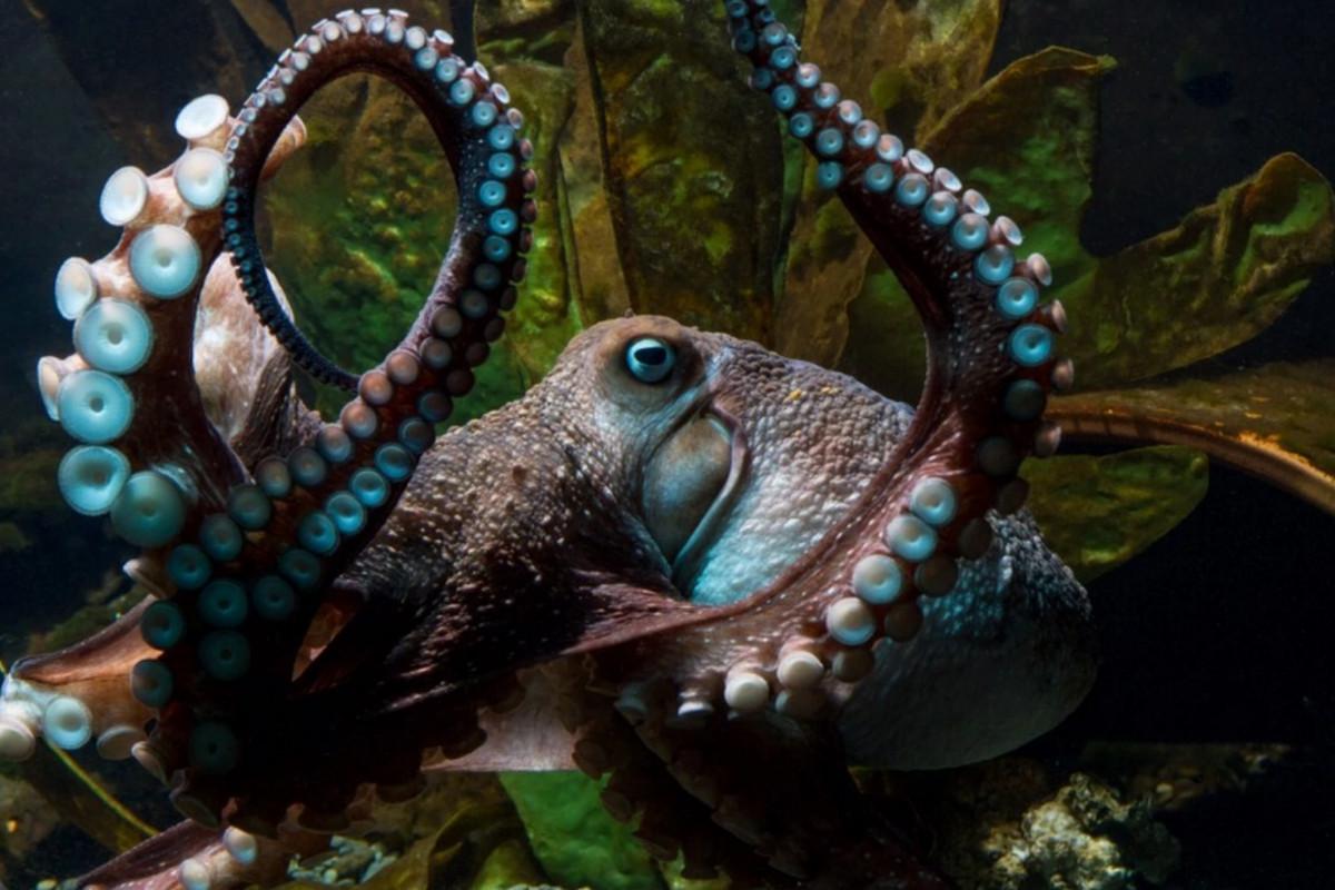 81c023e7fe837 Octopus escapes laboratory