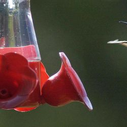 """ADVANCE FOR USE SUNDAY, APRIL 15 AND THEREAFTER - In this July 28, 2003, photo, a hummingbird approaches a feeder in Wheaton, Ill. Studies detailed in the new book, """"Illinois Birds: A Century of Change,"""" found that hummingbirds have increased in population in Illinois in the past 100 years."""