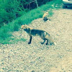 Foxes up the mountain