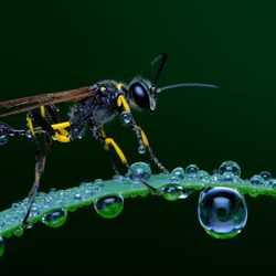 Natural: Wasp on a dewy morning