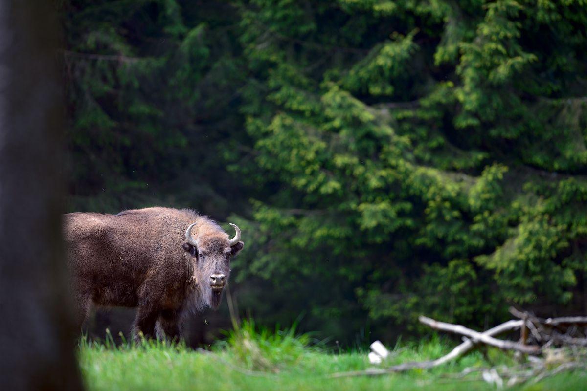 Bison roaming!
