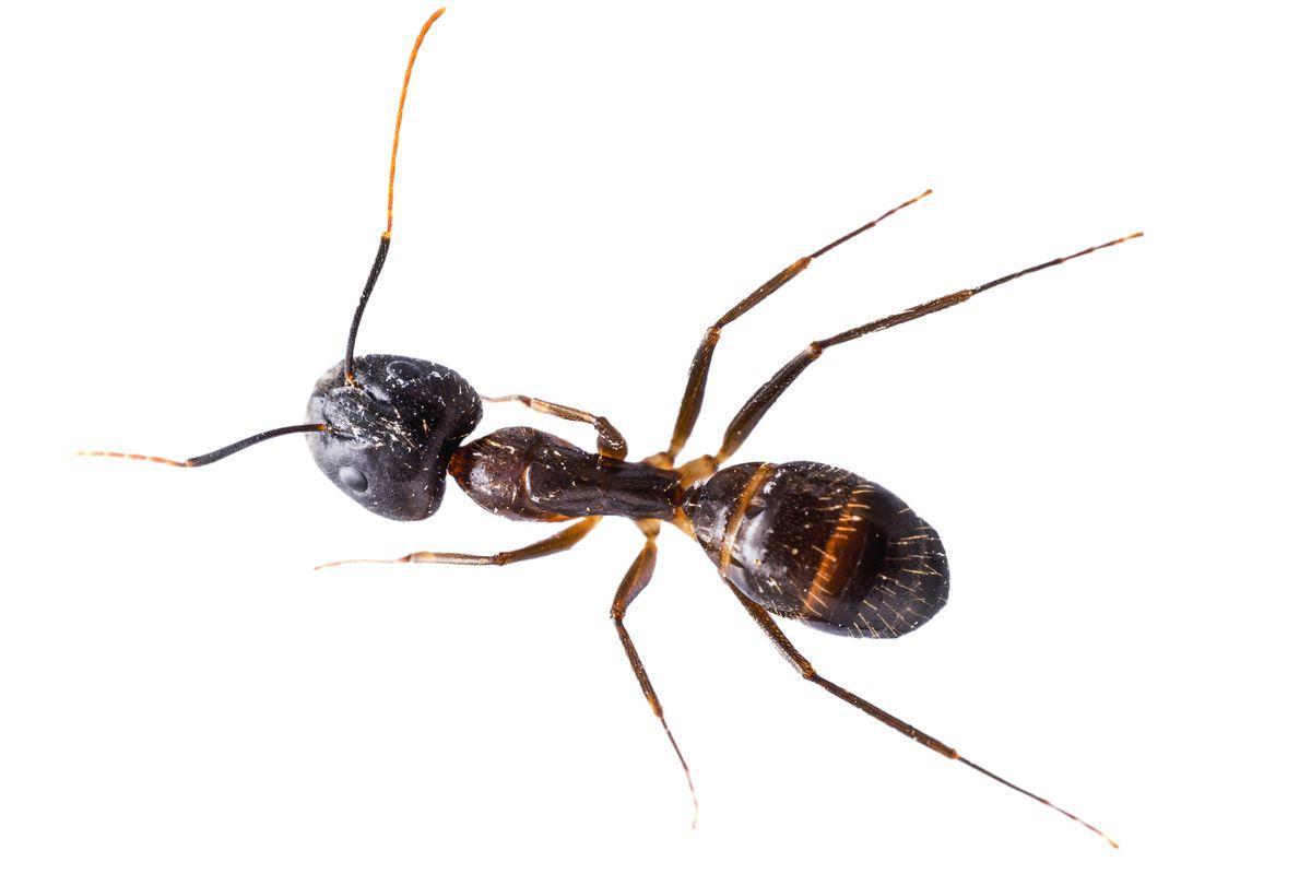 Summer 2021, Summer Checklist, close up ant on white background