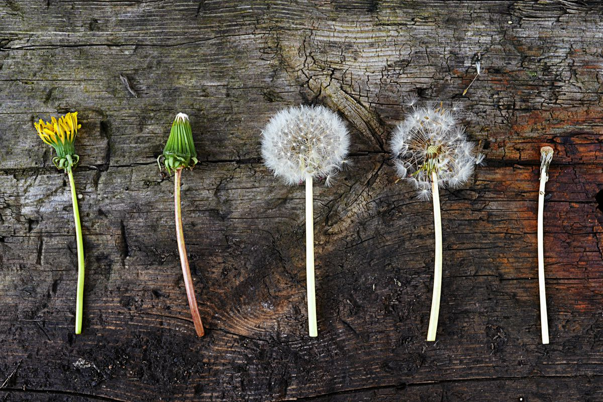 A dandelion shown in various stages of growth and decay.