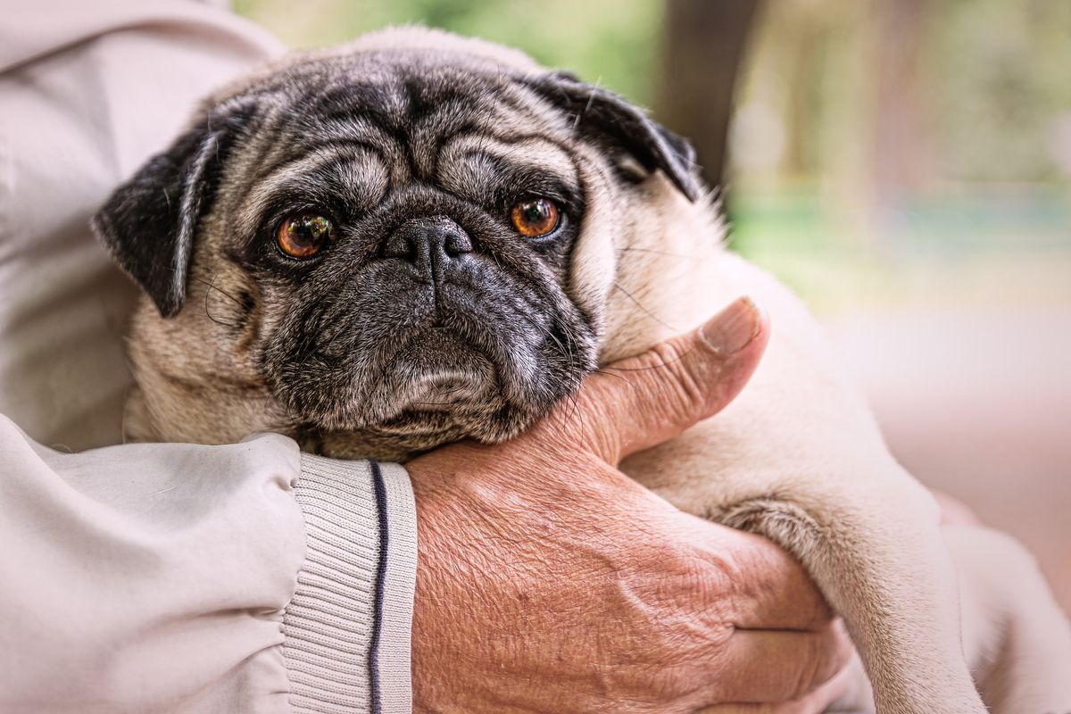 Scientists have discovered a mutation behind pugs\' weird little flat ...