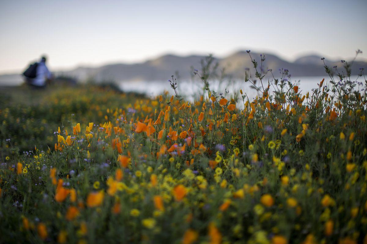 Sea Of Springtime Wildflowers Spreads Across Southern California