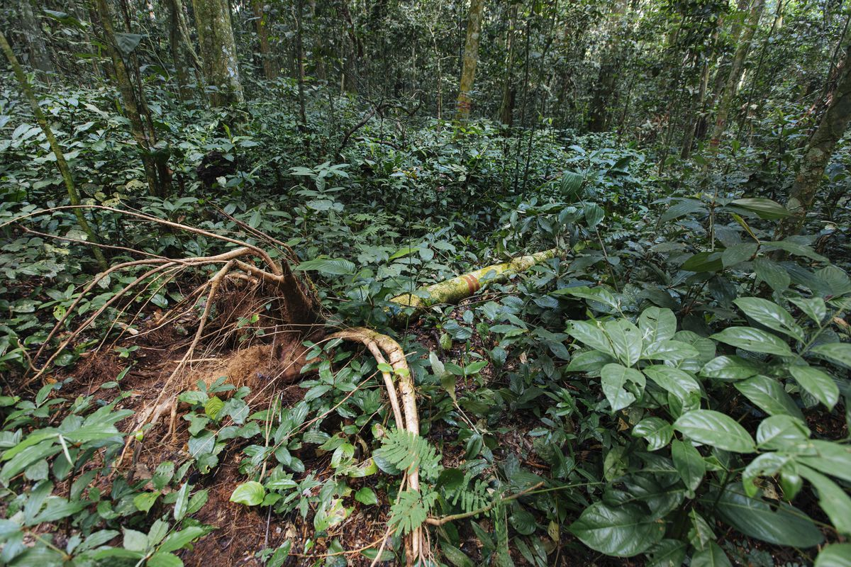 The researchers at Yangambi found this fallen Afrormosia tree and will use it for their studies.
