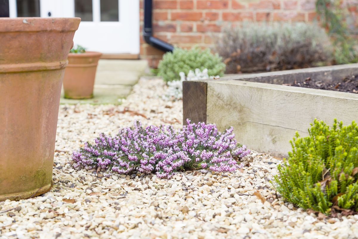 Purple Hebe plant grows in an english garden surrounded by terracotta planters and a raised garden.