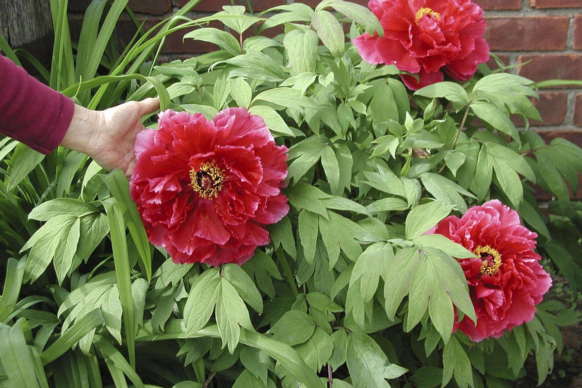 Tree Peonies Those Other Peonies Get A Bad Rap Deseret News