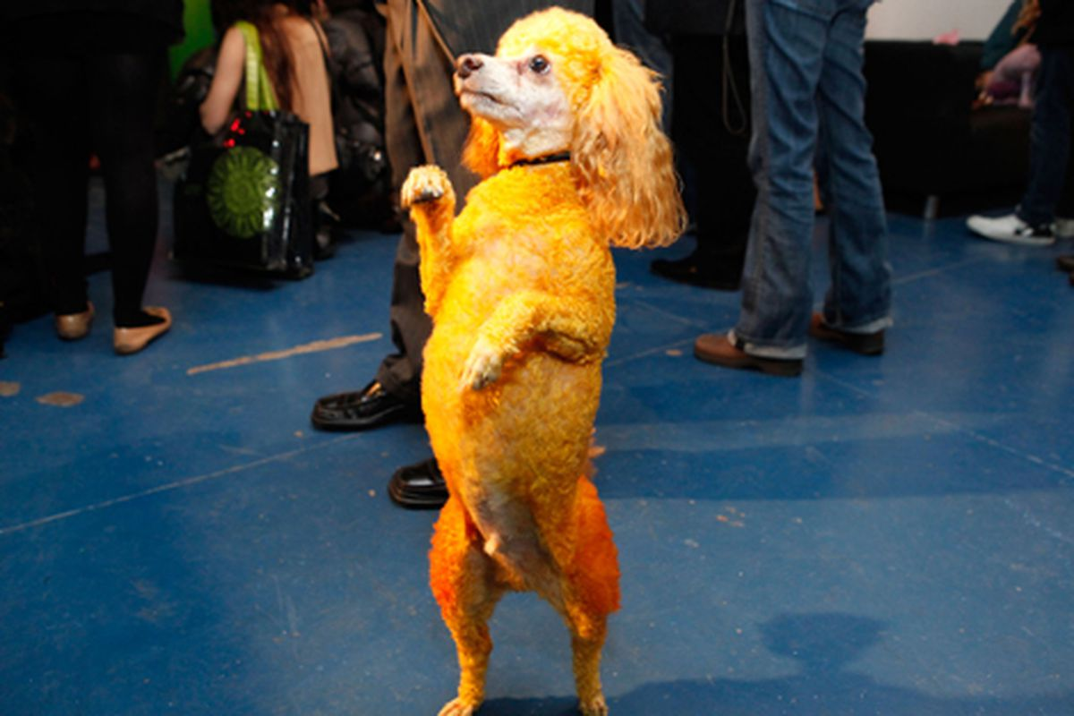"""Isaac Mizrahi's show yesterday involved custom-dyed poodles. Image via Getty; more pics at <a href=""""http://racked.com/archives/2011/02/17/isaac-mizrahi-dyes-his-poodles-and-decorates-his-cakes-to-match.php"""">Racked National</a>"""