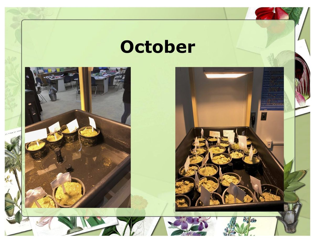 Images taken from a presentation made by Michelle Schwendemann show the progression of hydroponically-grown plants in her classroom.