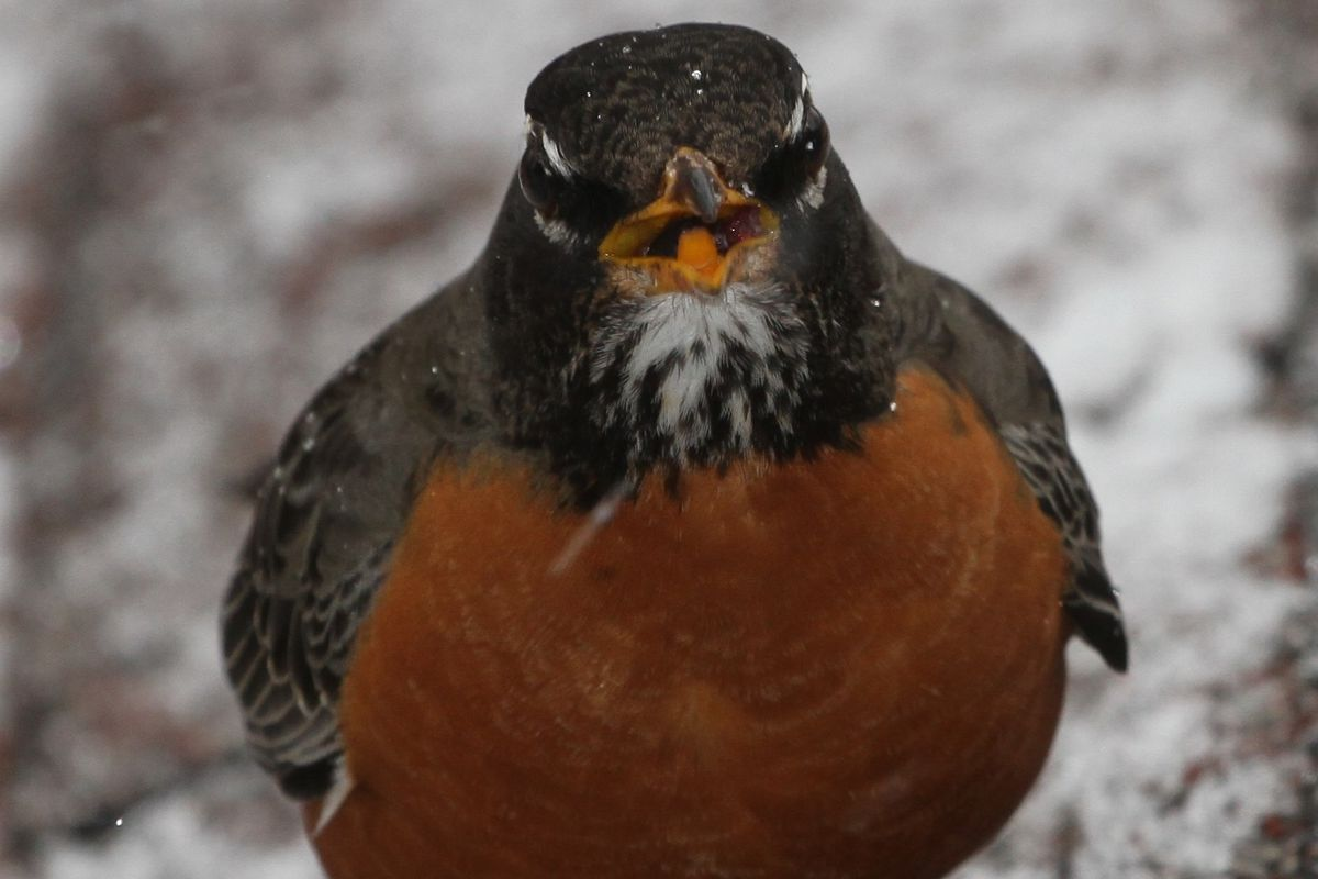 A robin, looking rather tough, eating a grape on Chicago's Northwest Side. Provided photo by Ron Wozny