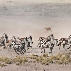 I spent nearly 3 hours watching a herd of wildebeest and zebra frolic, fight and drink from a watering hole in the middle of some pretty dry terrain. All of a sudden I heard the pounding of a stampeding heard, and as the dust began to fill the air I insti
