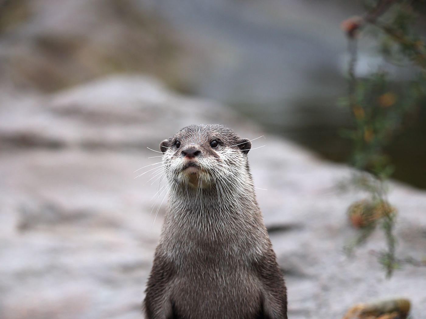 Five Ways That This Lettuce Eating Otter Could Save The