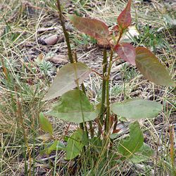 An aspen sprout shows signs of wildlife browsing.