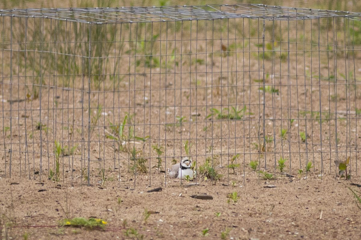 Monty, a piping plover, in a protective wired enclosure put up by U.S. Fish and Wildlife Services to protect the nest from predators.