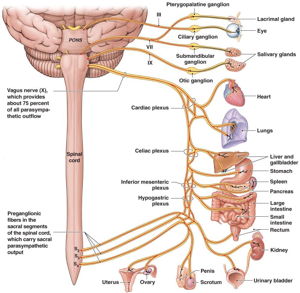 The vagus nerve, which conducts sensation from the vagina and cervix and  runs outside the spinal cord, might also contribute to orgasms.