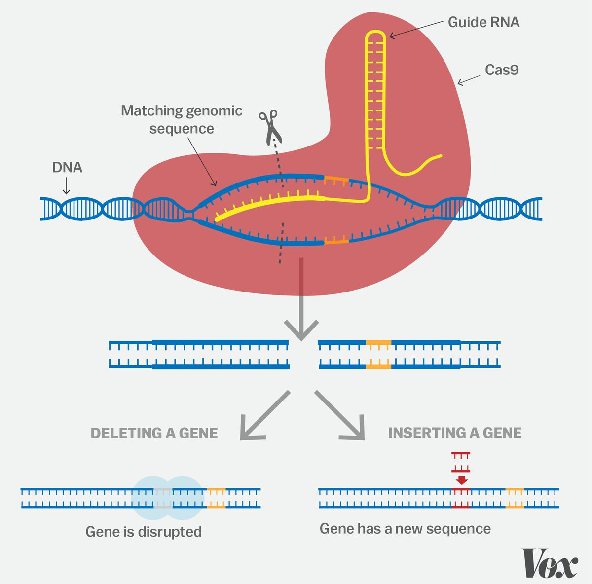 A basic guide to how CRISPR works. Javier Zarracina/Vox