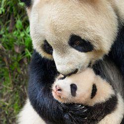 "Ya Ya and Mei Mei in ""Born in China."""