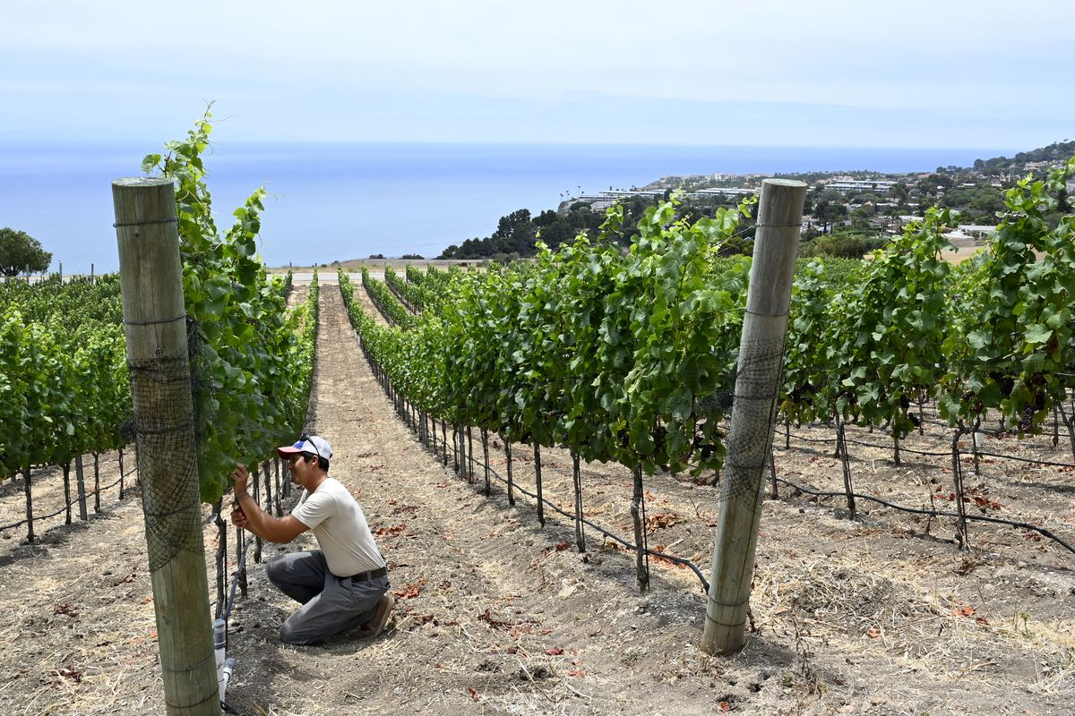 """Palos Verdes Peninsula is being established as California""""u2019s newest American Viticultural Area."""