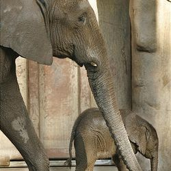 A young pachyderm is Salt Lake City's first newborn baby elephant in more than 90 years and will be on display to the public beginning Friday at 9 a.m. at Hogle Zoo. The newborn's mom, Christie, delivered her first baby on Aug. 10 after a 22-month gestation.