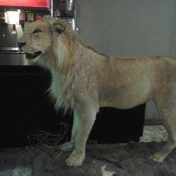 "<span class=""credit"">A stuffed lion will decorate Goro & Gun's dining room. Because racecar. [<a href=""https://www.facebook.com/photo.php?fbid=10151299939302452&set=a.10150540827617452.365615.648307451&type=1&theater"">Matt Wommack/Facebook</a>]</span>"