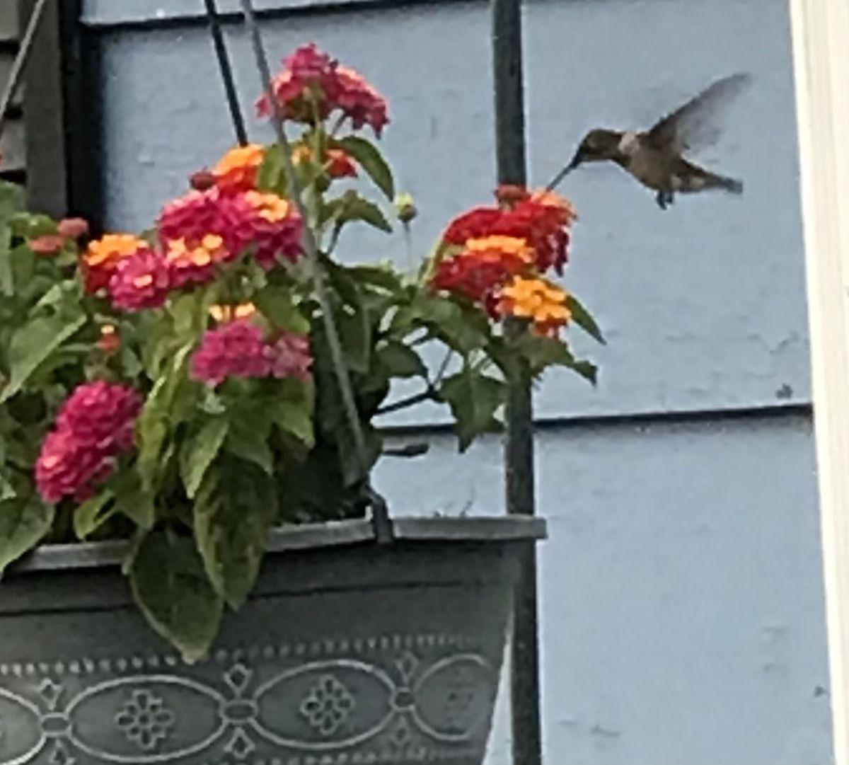 A hummingbird feeding. Credit: Vicky O'Malley