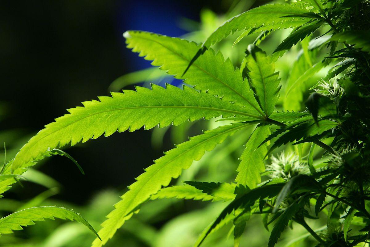 marijuana as a gateway drug research paper