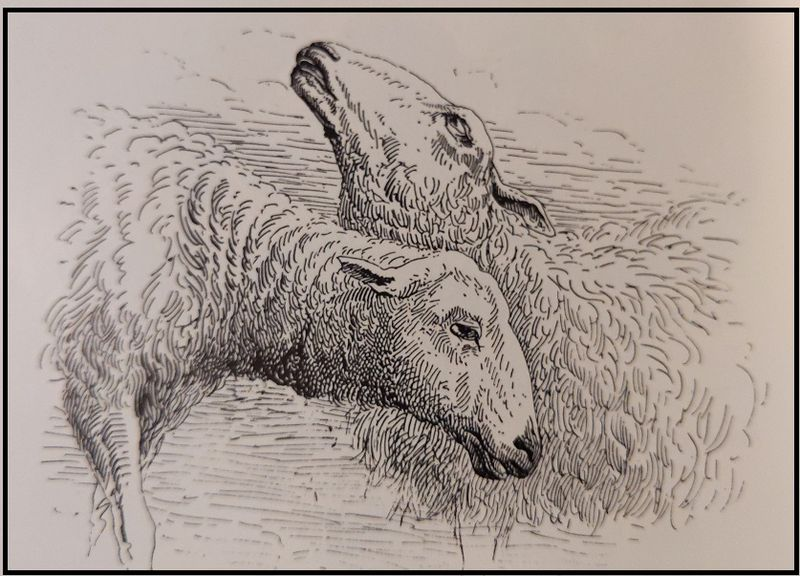 An old line engraving of two sheep heads.