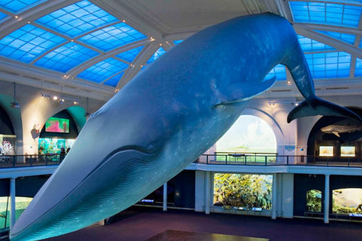 Photo of the blue whale sculpture at the American Museum of Natural History