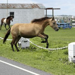 A wild ponies breaks free and mingle with people who lined the streets to watch ponies be paraded to the fairgrounds during Pony Penning in Chincoteague, Va., on Wednesday, July 24, 2019. Pony Penning is a 94-year-old swim tradition where wild ponies and foals swim from Assateague Island to Chincoteague Island, and after resting, are walked down the streets of town and eventually end up at a carnival where the foals are actioned.