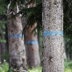 Trees to be harvested are marked in blue in Wolf Creek Campground in the Uinta National Forest, July 13, 2012.