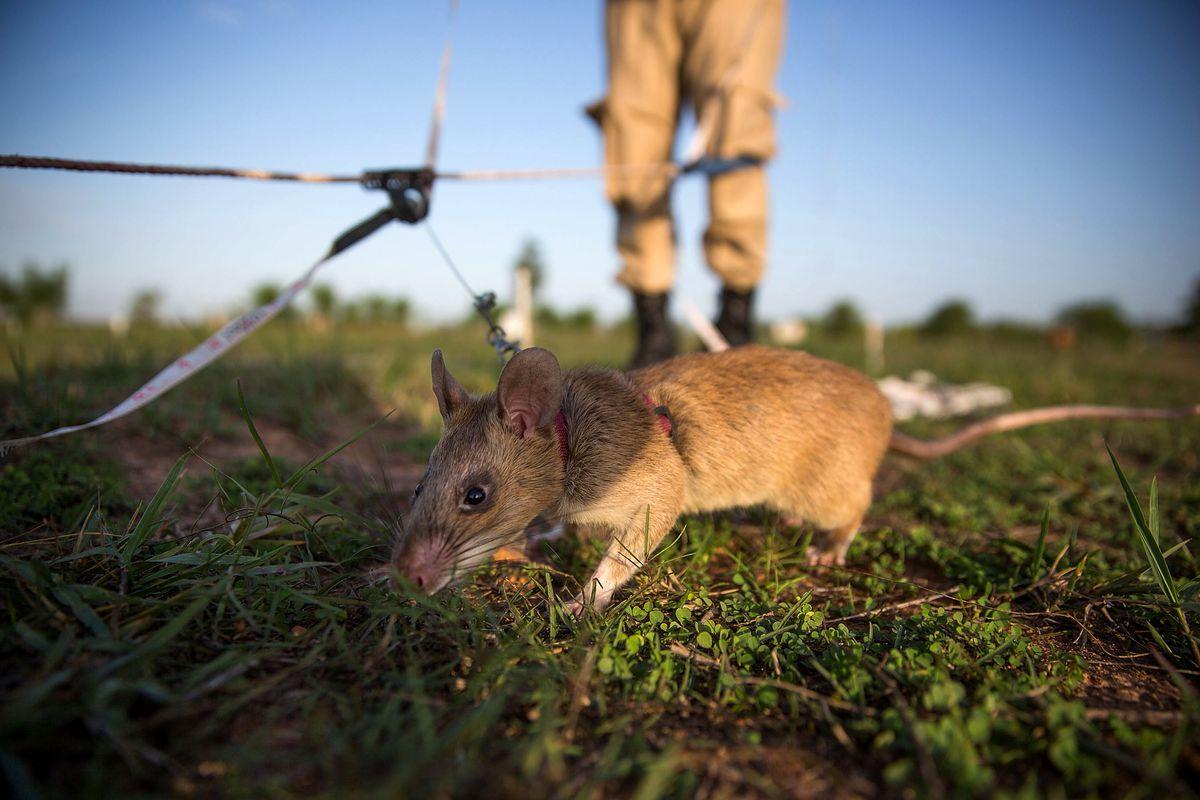 Cambodia's Demining Authority Train Giant Rats To Detect Landmines