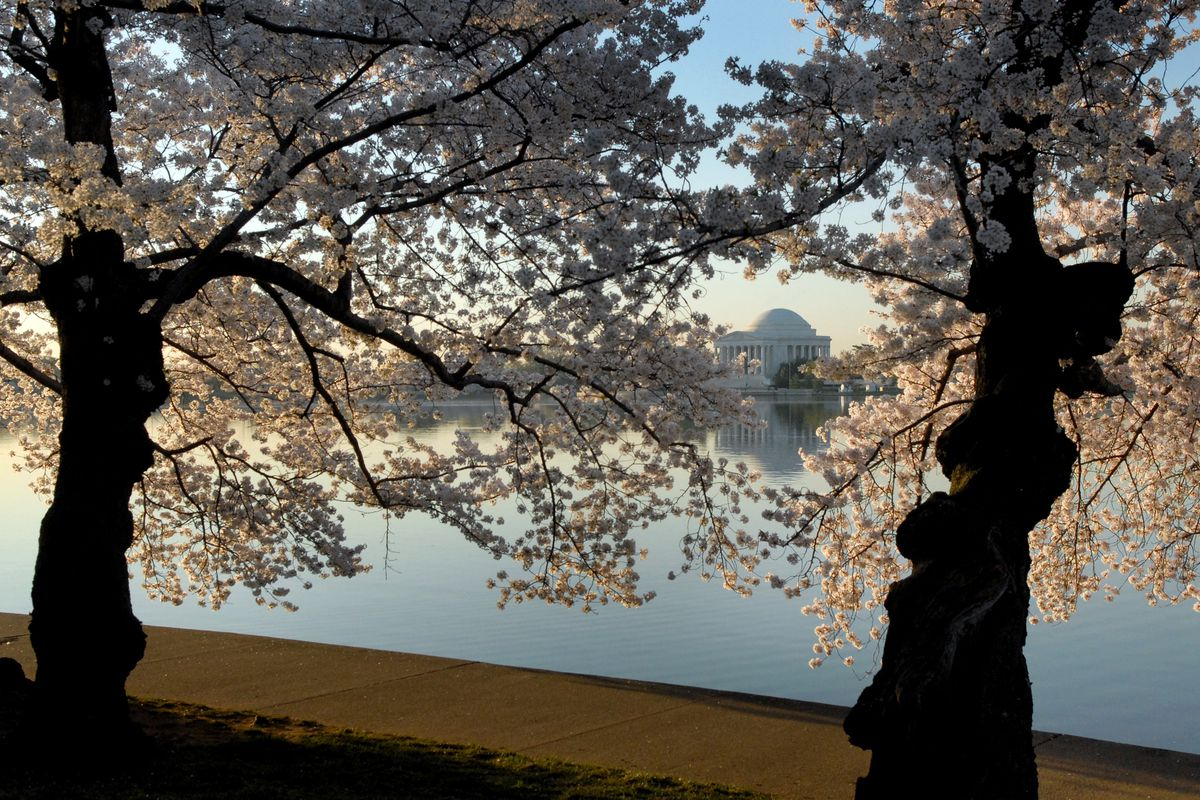Early morning sun lights the Cherry Blossoms along the Tidal